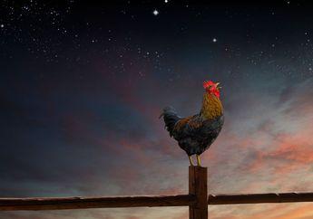 Bukan Mitos, Ini yang akan Terjadi Jika Ayam Jago Berkokok Tengah Malam atau Angsa Tidur Berdiri dengan Satu Kaki