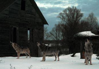 Serigala Chernobyl Sebarkan Mutasi Genetik Akibat Radiasi Nuklir?