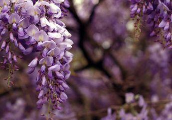 Indahnya Bunga Wisteria Saat Musim Semi Tak Kalah dengan Sakura