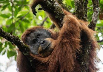 Pembangunan Bendungan Ancam Kehidupan Orangutan Tapanuli yang Langka
