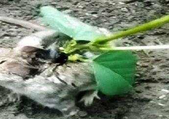 Mirip Karakter Bulbasaur dalam Pokemon, Tikus Ini Hidup dengan Sebuah Pohon Tumbuh di Punggungnya