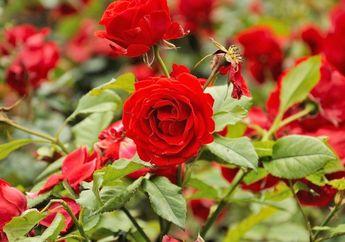 5 Tips Menanam Bunga Mawar, Saat Panen Bisa Untuk Dekorasi Ruang