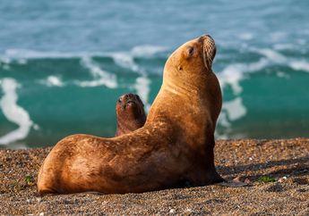 Kisah Singa Laut yang Menjadi Korban Penembakan Para Nelayan