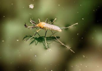 Mikroplastik Bisa Masuk ke Rantai Makanan Manusia Melalui Nyamuk