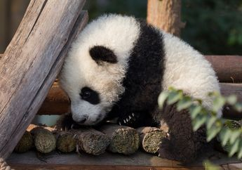 Dipisahkan Sejak Lahir, Panda Ini Tidak Tahu Bila Anaknya Kembar