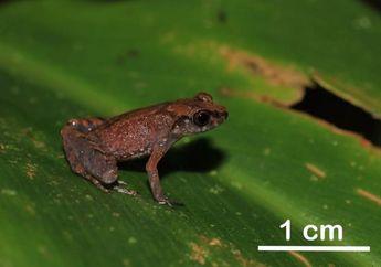 Spesies Katak Terbaru di Kalimantan Ini Miliki Suara Seperti Jangkrik