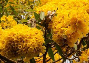Mirip Musim Sakura di Jepang, Bunga Tabebuya Viral karena Sedang Bermekaran di Salah Satu Kota di Indonesia Ini