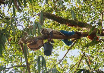 Berburu Madu Hutan Langsung dari Asalnya di Duntana, Flores Timur