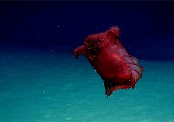 Penampakan 'Monster Ayam Tanpa Kepala' Ini Terekam untuk Kali Pertama di Pasifik Selatan