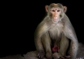 Populasi Monyet Pembawa Virus Herpes Meningkat, Apa Dampaknya?