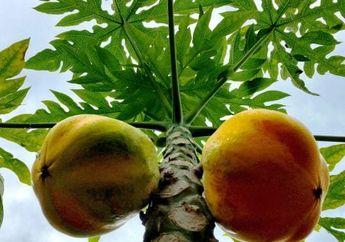 7 Manfaat Luar Biasa Jus Daun Pepaya, dari Dapat Lawan Kanker hingga Kurangi Efek Kemoterapi