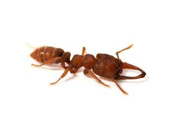 Semut Drakula yang Pemalu Ternyata Bisa Bergerak dengan Sangat Cepat!