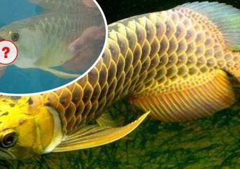 Merasa Ikan Arwananya Akan Mati, Pria Ini Membuka Mulutnya, Namun Ia Malah Temukan 'Harta' di Dalamnya