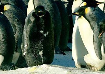 Unik, Penguin Ini Memiliki Bulu Berwarna Hitam di Seluruh Tubuhnya