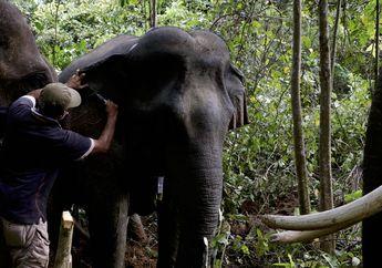 BKSDA Aceh Pasang Kerah Pelacak Pada Gajah Liar Untuk Cegah Konflik