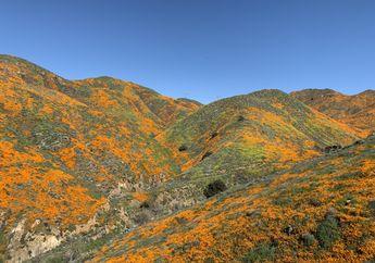 Jumlah Turis Melonjak,  Superbloom di Gurun California Alami Kerusakan