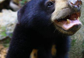 Seperti Manusia, Beruang Madu Bisa Saling Menirukan Ekpresi Wajah