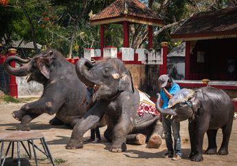 Bayi Gajah Mati dengan Kaki Patah Setelah Dipaksa Lakukan Atraksi