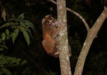Upaya Pelestarian, Pertamina Lepasliarkan Kukang Jawa Kembali ke Habitatnya