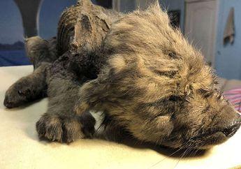 Anjing Prasejarah Berusia 18 Ribu Tahun Ditemukan di Siberia dalam Keadaan Utuh