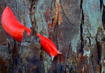 Siput Merah Jambu Ditemukan Selamat Pascakebakaran Hutan Australia