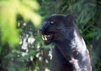 Black Panther yang Langka Kembali Ditemukan di Sri Lanka