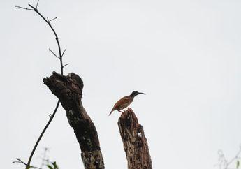 Tambrauw, Memata-matai Burung Nirwana Sampai Jejak Perang Dunia Kedua