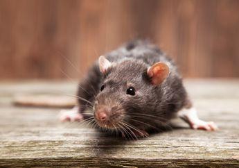 Waspada! Jika 4 Hal Ini Terjdi di Rumahmu, Berarti Ada Tikus Masuk