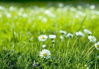 Rumput Liar Ganggu Pemandangan Halam Rumah, 3 Cara Bisa Dilakukan