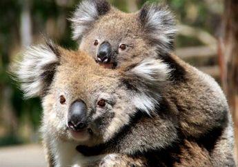 Puluhan Koala Terluka dan Mati Kelaparan di Perkebunan Australia
