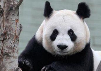 Menelusuri Jejak Keluarga Panda dari Fosil Berusia 22 Ribu Tahun