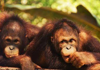 Video: Orangutan Berusaha Lawan Buldoser yang Ingin Merusak Habitatnya