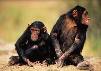 Simpanse Kehilangan 'Budaya'nya Karena Habitat Dirusak Manusia