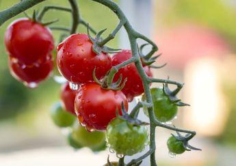 Tomat Pedas Seperti Cabai, Rencana Rekayasa Genetika Ilmuwan