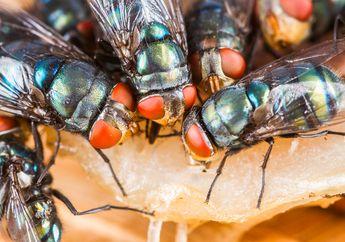 Benarkah Lalat yang Hidup di Area Perkotaan Lebih Menjijikkan?
