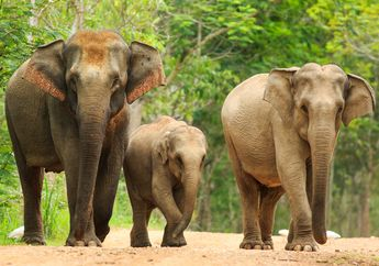 Bayi Gajah Asia Menjadi Pincang Akibat Perangkap Buatan Manusia