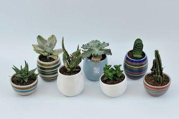 Agar Selalu Tampil Segar Inilah 5 Tips Mudah Merawat Kaktus Di