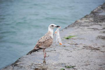 Plastik yang Dimakan Burung Laut Lepaskan Bahan Kimia Beracun ke Pencernaannya