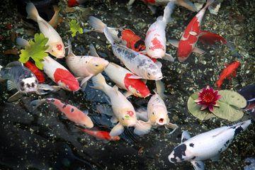 Begini Trik Tepat Siasati Kolam Ikan Agar Tak Bocor Pemasangan Bata Penting Lho Semua Halaman Idea
