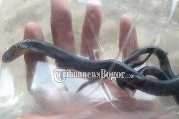 Geger Warga Bogor Diteror Puluhan Ular Kobra Petugas Sampai