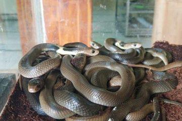 42++ Hewan ular cobra terupdate