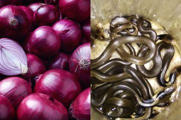 Viral Gigitan Bisa Ular Kobra Dapat Disembuhkan Dengan Bawang Merah, Benarkah?
