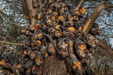 Suhu Ekstrem di Australia, Puluhan Ribu Kelelawar Mati Kepanasan