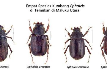 Peneliti LIPI Temukan Empat Spesies Kumbang Baru di Maluku Utara