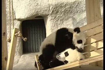 42++ Hewan panda kecil lucu terupdate
