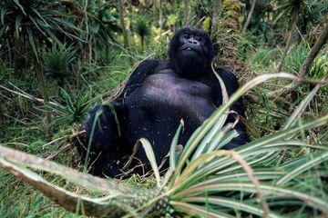 Melindungi Gorila dari COVID-19, Taman Nasional di Afrika Ditutup
