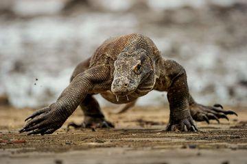 Perubahan Iklim dan Sempitnya Habitat Ancam Kepunahan Komodo Pada 2050