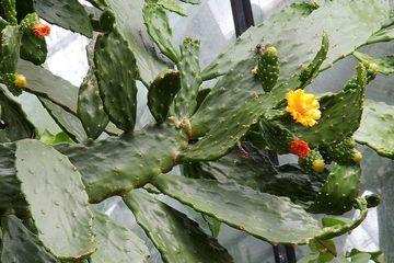 Tak Hanya Menjadi Tanaman Hias, Kaktus Juga Bermanfaat Bagi Kesehatan