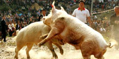 Ke Nang Haun, Olahraga Khas India yang Mempertarungkan Manusia dengan Babi
