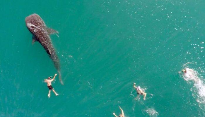 Hiu paus muncul di tengah kerumunan